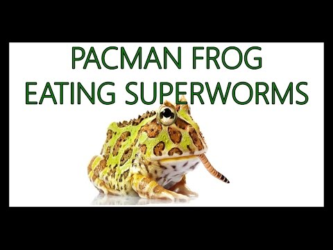 Pacman Frog eating superworms