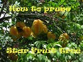 how to prune a star fruit carambola tree(Florida and  Zone 8&9) instructions