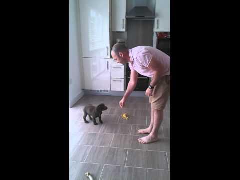 10 week old working cocker spaniel puppy in training