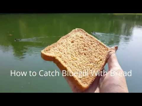 How to Catch Bluegill with Bread
