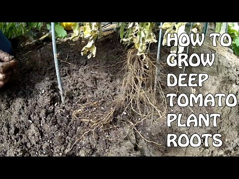 How To Grow Deep Tomato Plant Roots