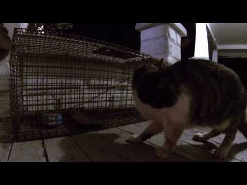 Cat In The Trap - Feral Cat Removal