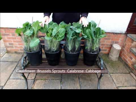 How to grow Brassicas in a Pot update.