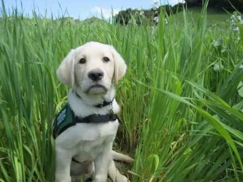 Guide Dogs for The Blind - Raising Skyler