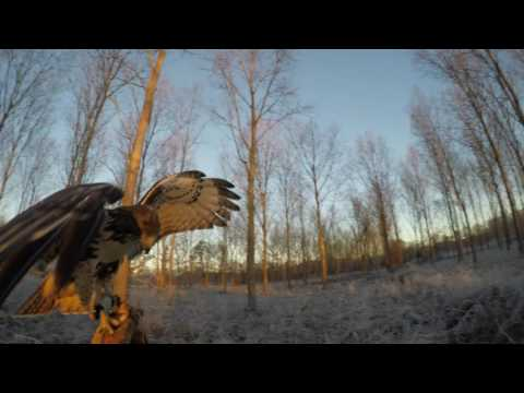 Falconry: red tailed hawk training