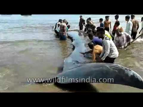 Indian heroes save 47 foot long Blue Whale that washed ashore