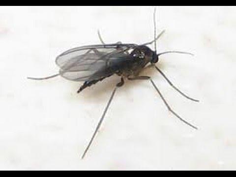 Gnats & Fruit flies  ( how to eliminate them )