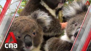 Australia bushfires: Koala victims start to return home