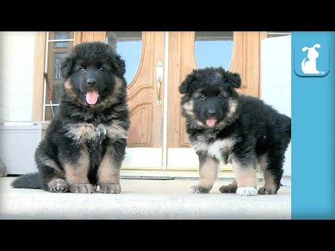 Fluffy German Shepherd Puppies Can't Get Down The Stairs - Puppy Love
