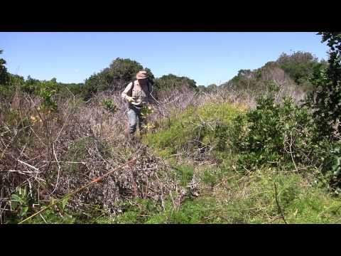 ASPARAGUS WEED CONTROL 8. spraying of Asparagus aethiopicus