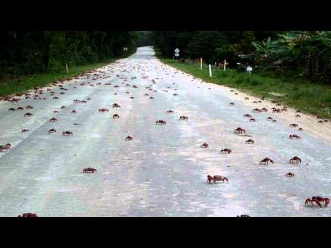 Red crabs crossing road on Christmas Island