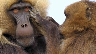 Gelada Baboon Reacts to Being Cheated on With Fury