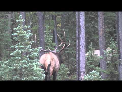 Bull Elk bugle up close