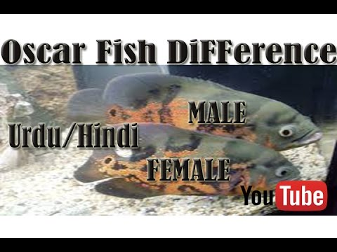 How To Difference Between Oscar Fish (Male & Female) Urdu/Hindi