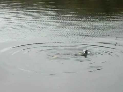 Fish chomping seal in the River Lee