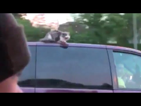 Cat Clings to Life on Hot Van Roof in Nebraska