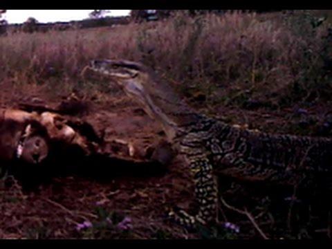 Australian monitor lizards (goannas) cleaning up a pig carcass
