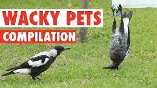 Hilarious Wacky Pets Animal Video Compilation 2016