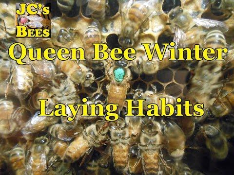 Queen Bee Winter Laying Habits
