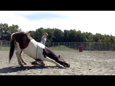 How to teach your horse to lay down safely and simply!