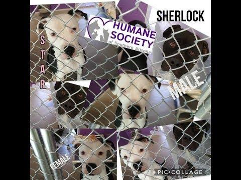 The Humane Society of Southern Arizona 5-15-18 Doggies Adoptable-Star 1YrOldFemale& Sherlock 2YrOldM