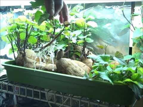 Rooting Sweet Potatoes