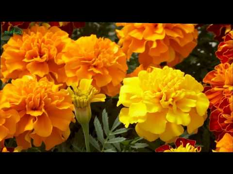 6 Wonderful Uses of Tagetes Essential Oil That You Might Not Know About