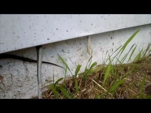 Garter snakes and siding (relocation/June 2017)