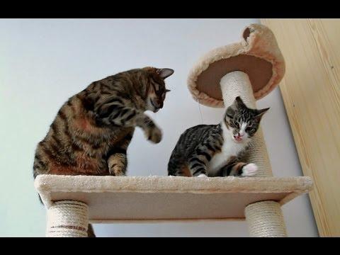 Feisty Kitten vs Adult Cat