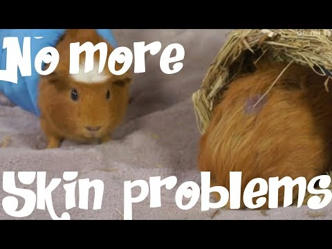GUINEA PIGS - Problems on guinea pig´s skin