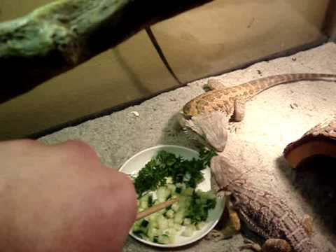 Learning to feed Bearded Dragons Vegetables