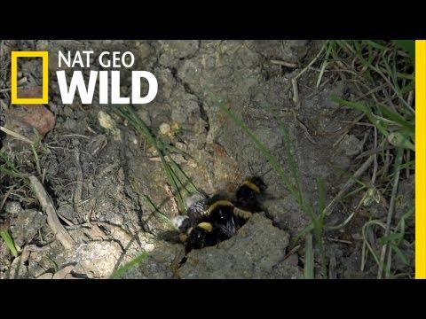 Sweet Revenge | Bumblebees | Bumblebees