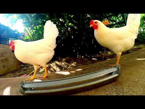 Chickens eating breakfast