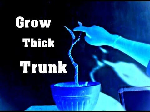 Super Easy Way to Grow Bonsai Thick Trunk || Ficus Virens  || Pilkhan