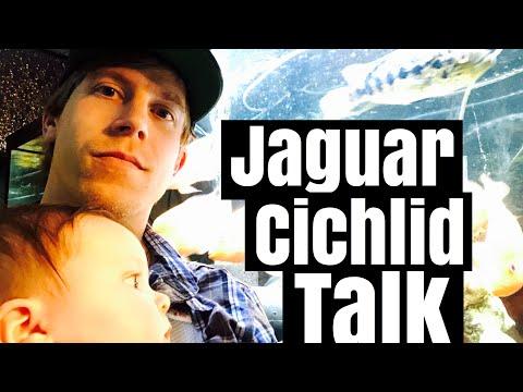 Jaguar Cichlid Tank Setup - Going LIVE