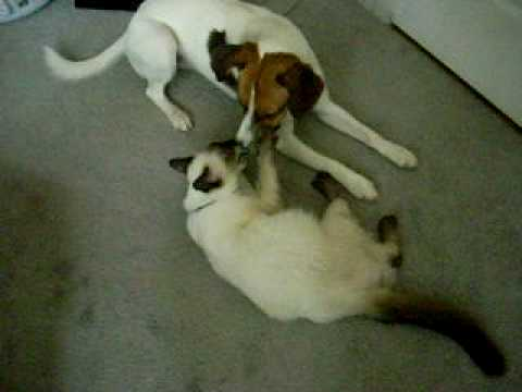 siamese cat and dog playing..