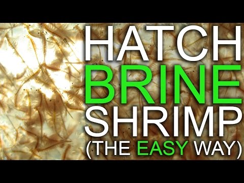 How To Hatch Brine Shrimp Eggs EASY (No Air Pump)