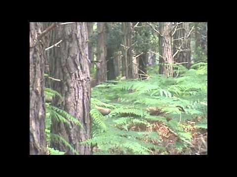Sika Deer Call on Brownsea Island