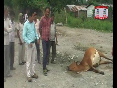 Xxx Mp4 हल्द्वानी लालकुआं एक साथ सात गायों की मौत सभी अचंभव में 3gp Sex