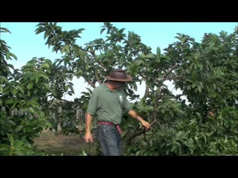 Pruning Avocados