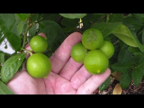 Fruit Trees In Containers Update In Green House