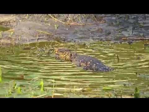 Gator in the lake at shades of green resort Disney World