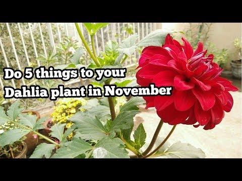 डेहलिया(Dahlia) के पौधे से पाएं ढेरों फूल।DO THESE FIVE THINGS TO DAHLIA IN NOVEMBER