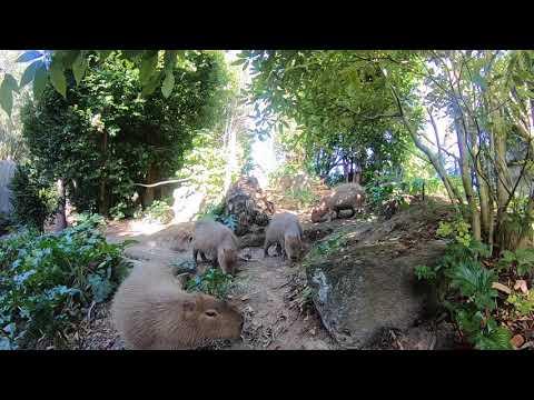We're going inside our capybara habitat!