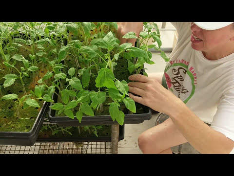Planting Seedlings in Dutch Bucket Hydroponic System