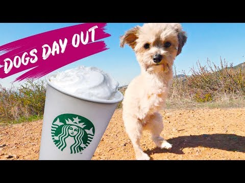 Cute Two Legged Yorkie Rescue Dog Get's Puppachino | Dogs Day Out