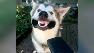 FORGET CATS, HUSKIES are the FUNNIEST ANIMALS!