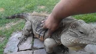 Lizard Greets Man like a Dog!