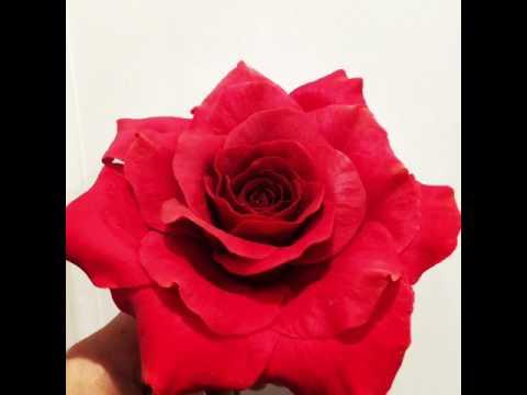 Red Gum paste Rose