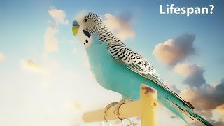 Download What is the average lifespan of a Budgie? Video
